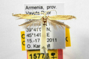 (Coleophora lixella gr - CNCLEP00111712)  @13 [ ] Copyright (2014) Giorgio Baldizzone Research Collection of Giorgio Baldizzone