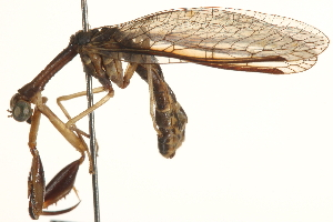 (Mantispidae - BIOUG10951-A06)  @14 [ ] CreativeCommons - Attribution Non-Commercial Share-Alike (2014) BIO Photography Group Biodiversity Institute of Ontario