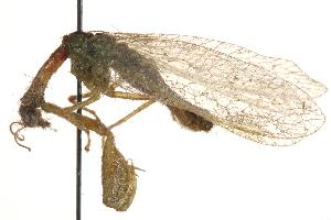 (Mantispa - BIOUG10951-B10)  @12 [ ] CreativeCommons - Attribution Non-Commercial Share-Alike (2014) BIO Photography Group Biodiversity Institute of Ontario
