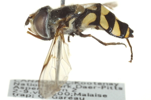 ( - CNC DIPTERA 135215)  @15 [ ] CreativeCommons - Attribution Non-Commercial Share-Alike (2012) CNC/BIO Photography Group Biodiversity Institute of Ontario