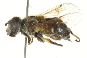 (Eristalis pseudorupium - CNC DIPTERA 162705)  @13 [ ] CreativeCommons - Attribution Non-Commercial Share-Alike (2012) CNC/BIO Photography Group Biodiversity Institute of Ontario
