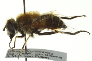 (Eristalis jugorum - CNC DIPTERA 162734)  @14 [ ] CreativeCommons - Attribution Non-Commercial Share-Alike (2012) CNC/BIO Photography Group Biodiversity Institute of Ontario