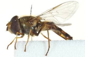 ( - CNC DIPTERA 162919)  @11 [ ] CreativeCommons - Attribution Non-Commercial Share-Alike (2012) CNC/BIO Photography Group Biodiversity Institute of Ontario