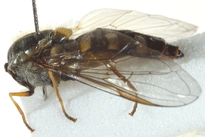 ( - CNC DIPTERA 162920)  @12 [ ] CreativeCommons - Attribution Non-Commercial Share-Alike (2012) CNC/BIO Photography Group Biodiversity Institute of Ontario