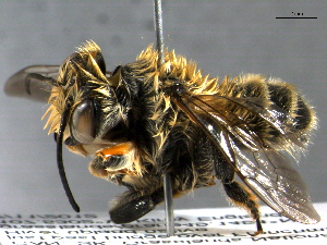 (Megachile dentitarsus - BIOUG02741-C08)  @15 [ ] CreativeCommons - Attribution Non-Commercial Share-Alike (2013) BIO Photography Group Biodiversity Institute of Ontario