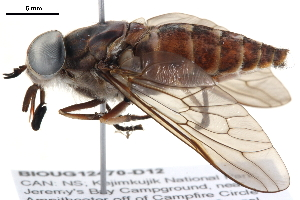 (Tabanus novaescotiae - BIOUG12470-D12)  @15 [ ] CreativeCommons - Attribution Non-Commercial Share-Alike (2014) CBG Photography Group Centre for Biodiversity Genomics
