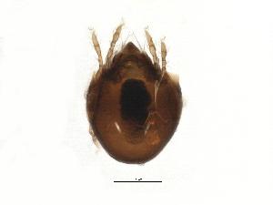 (Chamobatidae - BIOUG13292-C03)  @14 [ ] CreativeCommons - Attribution Non-Commercial Share-Alike (2014) CBG Photography Group Centre for Biodiversity Genomics