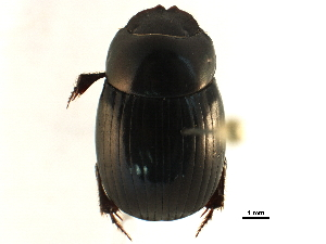 (Ateuchus chrysopyge - BIOUG15804-H04)  @11 [ ] CreativeCommons - Attribution Non-Commercial Share-Alike (2015) CBG Photography Group Centre for Biodiversity Genomics