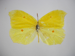 (Gonepteryx amintha - CO-GA-10-5)  @11 [ ] Copyright (2010) Zhaofu Yang Northwest Agriculture and Forest University