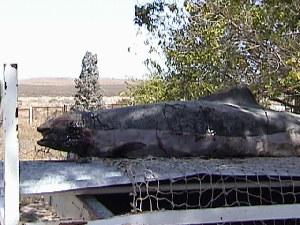 (Phocoena dioptrica - CNP-MM-49)  @11 [ ] Copyright (2012) Enrique A Crespo Marine Mammal Lab- CENPAT-CONICET