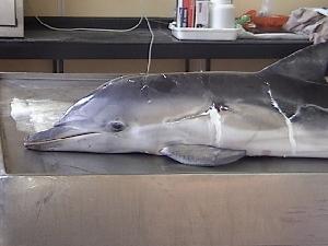 ( - CNP-MM-78)  @11 [ ] Copyright (2012) Enrique A Crespo Marine Mammal Lab- CENPAT-CONICET
