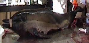 ( - CNP-MM-81)  @11 [ ] Copyright (2012) Enrique A Crespo Marine Mammal Lab- CENPAT-CONICET