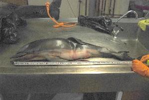( - CNP-MM-83)  @11 [ ] Copyright (2012) Enrique A Crespo Marine Mammal Lab- CENPAT-CONICET