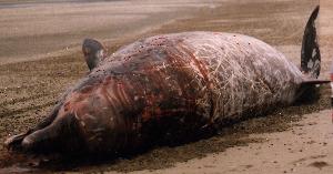 ( - CNP-MM-30)  @11 [ ] Copyright (2012) Enrique A Crespo Marine Mammal Lab- CENPAT-CONICET