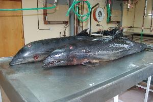 ( - CNP-MM-57)  @11 [ ] Copyright (2012) Enrique A Crespo Marine Mammal Lab- CENPAT-CONICET