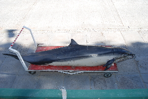 (Lagenodelphis hosei - CNP-MM-14)  @11 [ ] Copyright (2012) Enrique A Crespo Marine Mammal Lab- CENPAT-CONICET