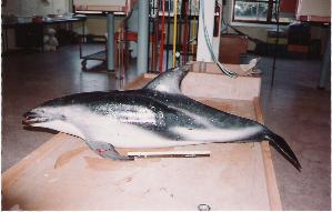 (Lagenorhynchus - CNP-MM-01)  @11 [ ] Copyright (2012) Enrique A Crespo Marine Mammal Lab- CENPAT-CONICET