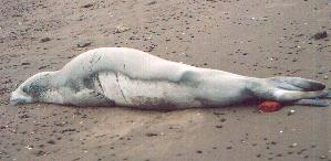 (Lobodon - CNP-MM-38)  @11 [ ] Copyright (2012) Enrique A Crespo Marine Mammal Lab- CENPAT-CONICET