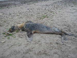(Otaria - CNP-MM-33)  @11 [ ] Copyright (2012) Enrique A Crespo Marine Mammal Lab- CENPAT-CONICET