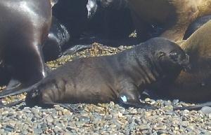 (Otaria - CNP-MM-95)  @11 [ ] Copyright (2012) Enrique A Crespo Marine Mammal Lab- CENPAT-CONICET