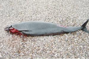 ( - CNP-MM-47)  @11 [ ] Copyright (2012) Enrique A Crespo Marine Mammal Lab- CENPAT-CONICET