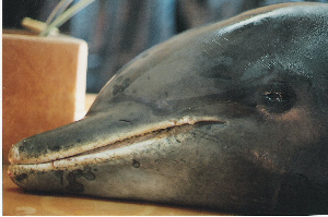 ( - CNP-MM-07)  @11 [ ] Copyright (2012) Enrique A Crespo Marine Mammal Lab- CENPAT-CONICET
