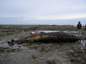 (Ziphius - CNP-MM-28)  @11 [ ] Copyright (2012) Enrique A Crespo Marine Mammal Lab- CENPAT-CONICET