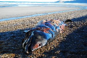 (Ziphius - CNP-MM-29)  @11 [ ] Copyright (2012) Enrique A Crespo Marine Mammal Lab- CENPAT-CONICET