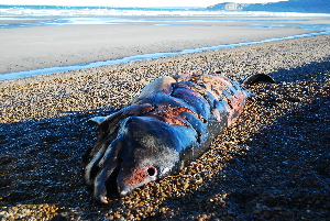 ( - CNP-MM-29)  @11 [ ] Copyright (2012) Enrique A Crespo Marine Mammal Lab- CENPAT-CONICET