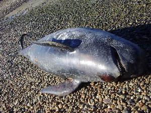 ( - CNP-MM-63)  @11 [ ] Copyright (2012) Enrique A Crespo Marine Mammal Lab- CENPAT-CONICET