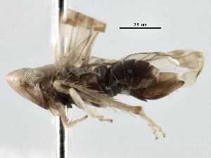 (Typhlocybinae - BIOUG02966-D03)  @15 [ ] CreativeCommons - Attribution Non-Commercial Share-Alike (2013) BIO Photography Group Biodiversity Institute of Ontario