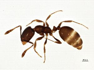 (Monomorium emarginatum - BIOUG03336-B09)  @11 [ ] CreativeCommons - Attribution Non-Commercial Share-Alike (2013) BIO Photography Group Biodiversity Institute of Ontario