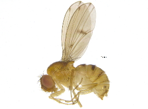 (Drosophila tripunctata - BIOUG03345-E04)  @16 [ ] CreativeCommons - Attribution Non-Commercial Share-Alike (2012) BIO Photography Group Biodiversity Institute of Ontario