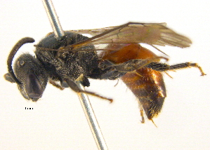 (Sphecodes carolinus - BIOUG03373-D06)  @15 [ ] CreativeCommons - Attribution Non-Commercial Share-Alike (2013) BIO Photography Group Biodiversity Institute of Ontario