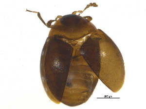 (Corylophidae - BIOUG03515-C06)  @14 [ ] CreativeCommons - Attribution Non-Commercial Share-Alike (2012) BIO Photography Group Biodiversity Institute of Ontario