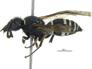 (Odynerus - BIOUG03460-F01)  @15 [ ] CreativeCommons - Attribution Non-Commercial Share-Alike (2015) BIO Photography Group Biodiversity Institute of Ontario
