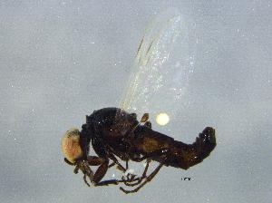 (Bibionidae - BIOUG03590-H06)  @14 [ ] CreativeCommons - Attribution Non-Commercial Share-Alike (2012) BIO Photography Group Biodiversity Institute of Ontario