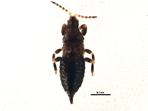 (Phlaeothripidae - BIOUG09244-G01)  @15 [ ] CreativeCommons - Attribution Non-Commercial Share-Alike (2014) BIO Photography Group Biodiversity Institute of Ontario