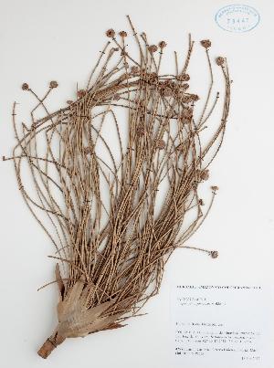 (Eriocaulaceae - DC42581)  @11 [ ] No Rights Reserved (2013) COAH Instituto Amazonico de Investigaciones Ceintificas Sinchi