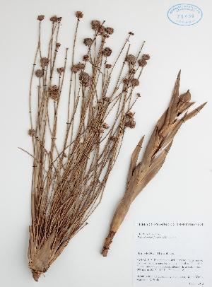 (Eriocaulaceae - DC42586)  @11 [ ] No Rights Reserved (2013) COAH Instituto Amazonico de Investigaciones Ceintificas Sinchi