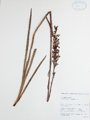(Haemodoraceae - DC42578)  @11 [ ] No Rights Reserved (2013) COAH Instituto Amazonico de Investigaciones Ceintificas Sinchi