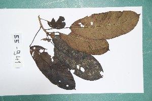 (Sterculiaceae - 7206AA)  @11 [ ] Copyright (2013) Bart Wursten National Botanic Garden Belgium