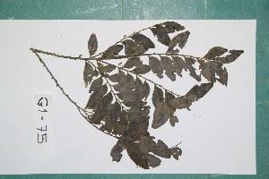 (Diospyros hoyleana - 7308AA)  @11 [ ] Copyright (2013) Bart Wursten National Botanic Garden Belgium