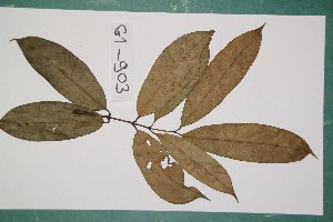 (Clusiaceae - 7300AA)  @11 [ ] Copyright (2013) Bart Wursten National Botanic Garden Belgium