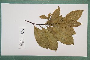 (Irvingiaceae - 7157AA)  @11 [ ] Copyright (2013) Bart Wursten National Botanic Garden Belgium