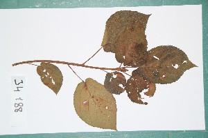 (Ficus mucuso - 6610AA)  @11 [ ] Copyright (2013) Bart Wursten National Botanic Garden Belgium
