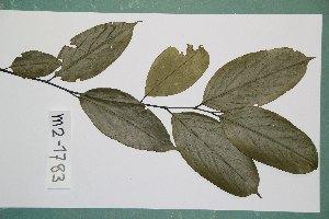 (Diospyros crassiflora - 6580AA)  @11 [ ] Copyright (2013) Bart Wursten National Botanic Garden Belgium
