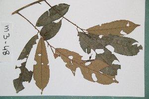 (Chrysophyllum africanum - 6427AA)  @11 [ ] Copyright (2013) Bart Wursten National Botanic Garden Belgium