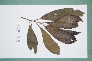 (Chrysophyllum lacourtianum - 6932AA)  @11 [ ] Copyright (2013) Bart Wursten National Botanic Garden Belgium