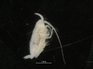 (Pseudochirella - COPCLAD294)  @11 [ ] CC-by-nc-sa (2017) IMR Institute of Marine research